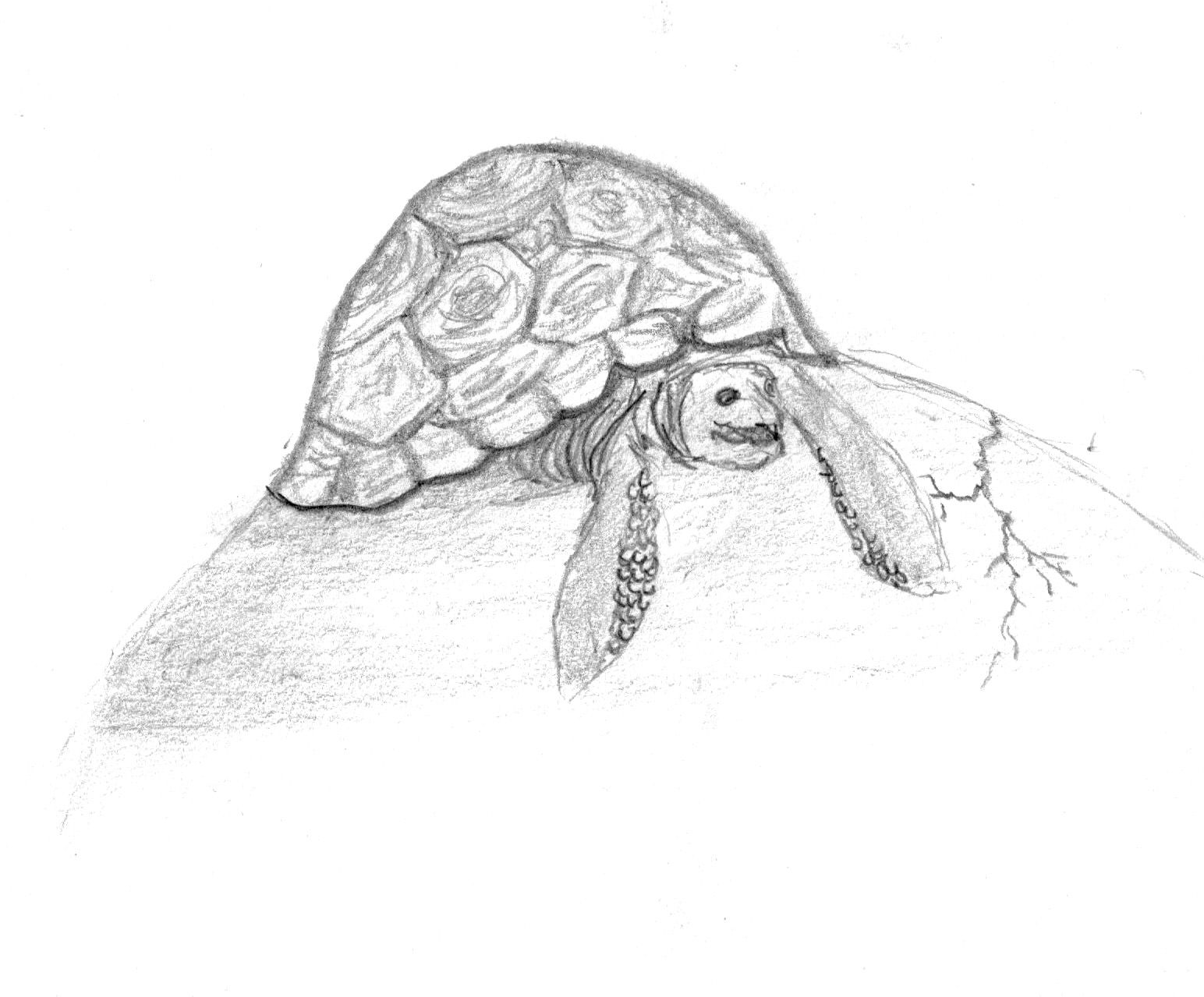Turtle pencil sketch my artwork drawings sketches artwork