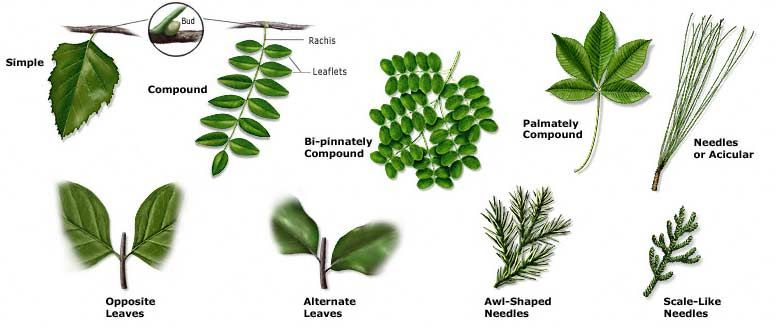 Leaf Plants By Arrangements Tree Texas Plants History - Shapes Natural Identifying And Id Identification Types Fruit