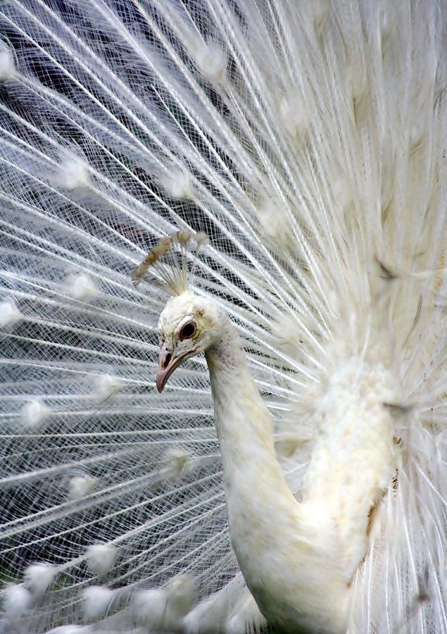 White peacock by Dewa Gsp on 500px