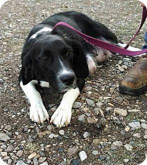 E. Wenatchee, WA - Border Collie Mix. Meet Angel, a dog for adoption. http://www.adoptapet.com/pet/17403430-e-wenatchee-washington-border-collie-mix