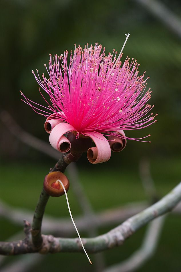 Shaving Brush Tree 2 By Secondclaw On Deviantart Unusual Flowers Flower Garden Plants Amazing Flowers