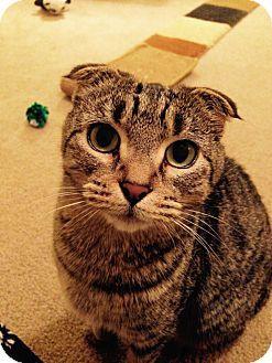 Catshirt Cat Adoption Scottish Fold Cats