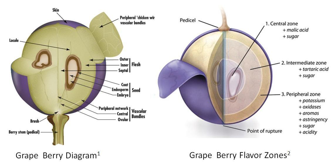 Grape Anatomy And Flavor Zones 1128557 Grape Vine Anatomy