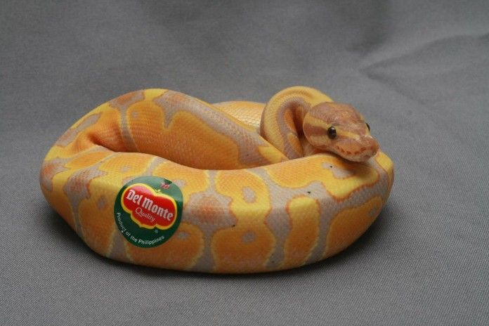 ball python cute - Google Search | Ball Python | Pinterest ...