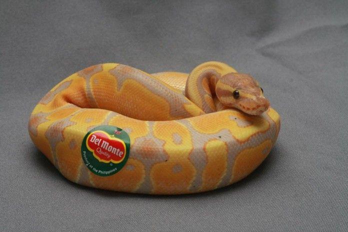 ball python cute - Google Search | Ball Python | Pinterest ...
