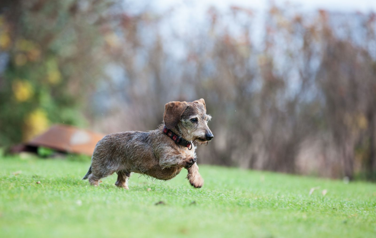 Brindle Mini Wirehaired Dachshund Running Photo By Www Carolinetrotter Co Uk Wire Haired Dachshund Brindle Dachshund Dachshund