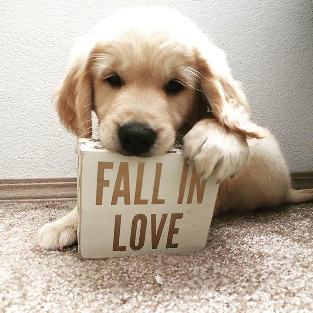Goldenretriever Puppy Puppies Cute Animals Golden Retriever