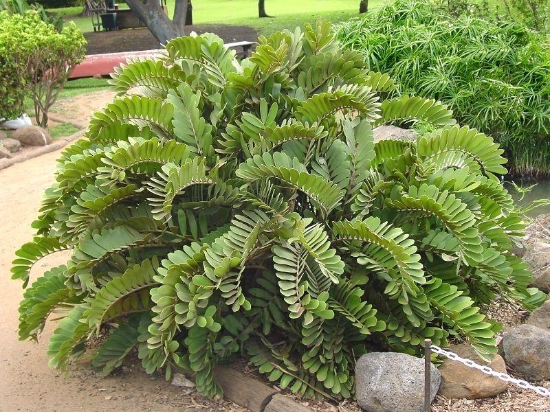 Cycad cardboard palm zamia furfuracea tolerates