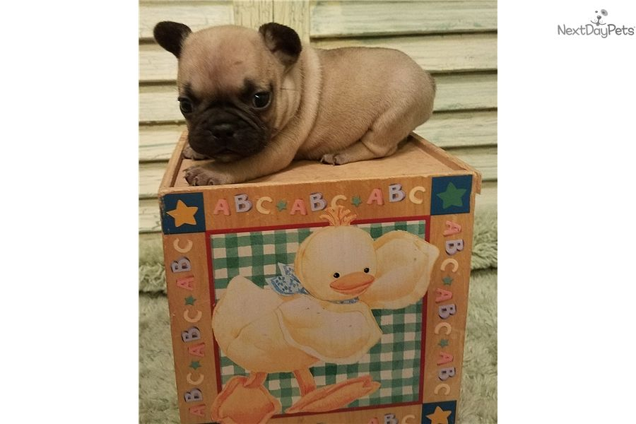 French Bulldog Puppy For Sale Near Houston Texas 1604d604 06e1