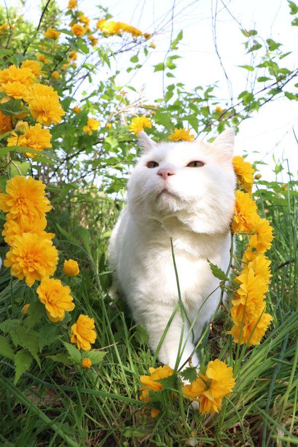 八重山吹 - かご猫 Blog
