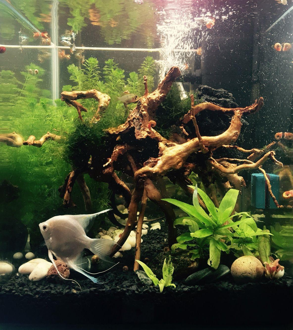 #escalar #ramirezi #nanocube #tropical #aquascaping #aquarium