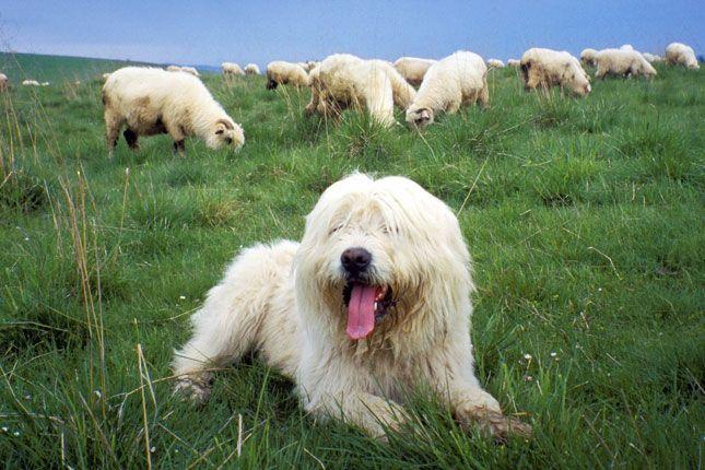Sheepdog Breeds List