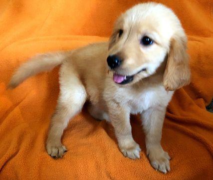 Golden Retriever puppy for sale in MISSOURI CITY, TX. ADN