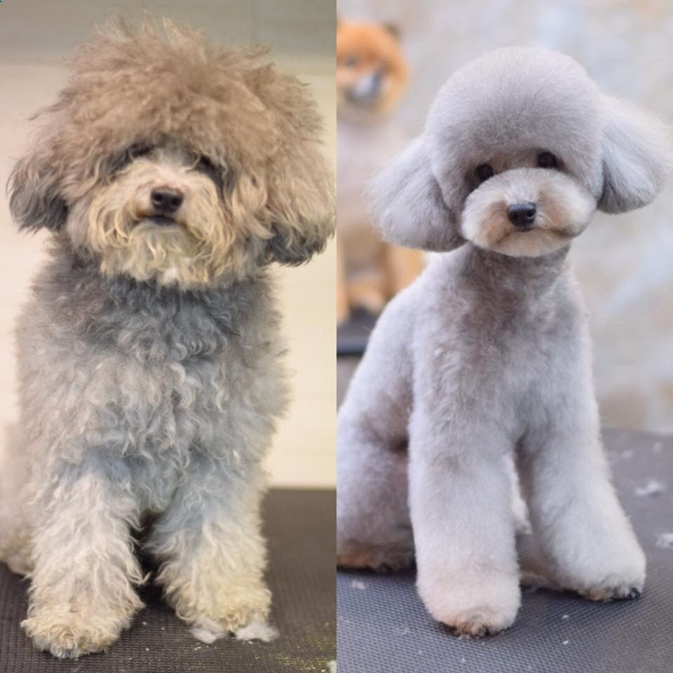 Repinned Before After Dog Grooming Photos Poodle Dog Haircuts