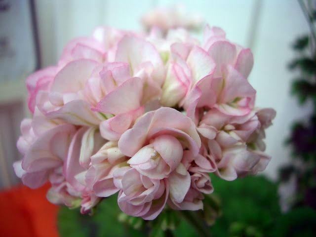 http://pelargoniumoasen.blogspot.co.uk/2008/05/asarnas-ull.html