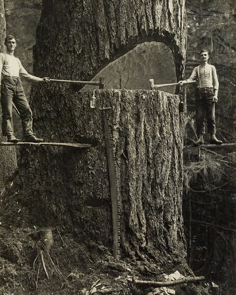 Two Lumberjacks And A Big Tree, Pacific Northwest, 1915