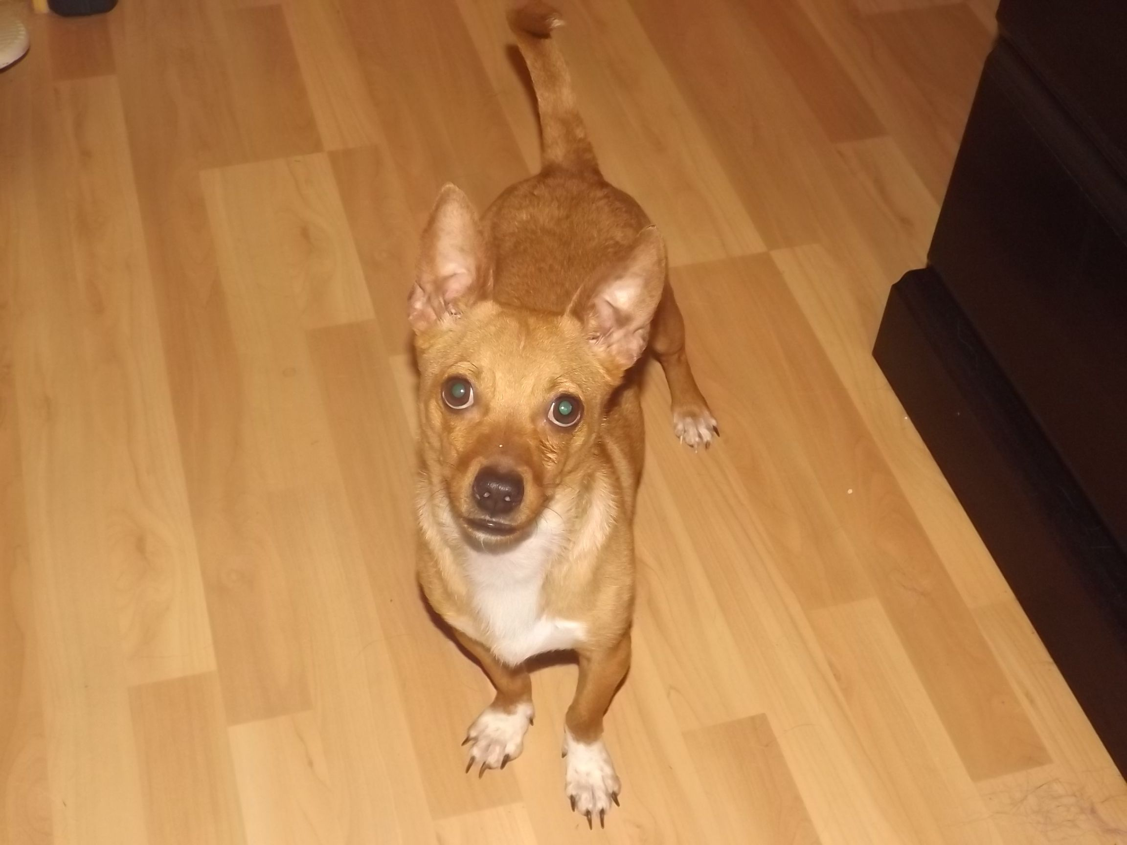 Adopt Jack On Siberian Husky Rescue