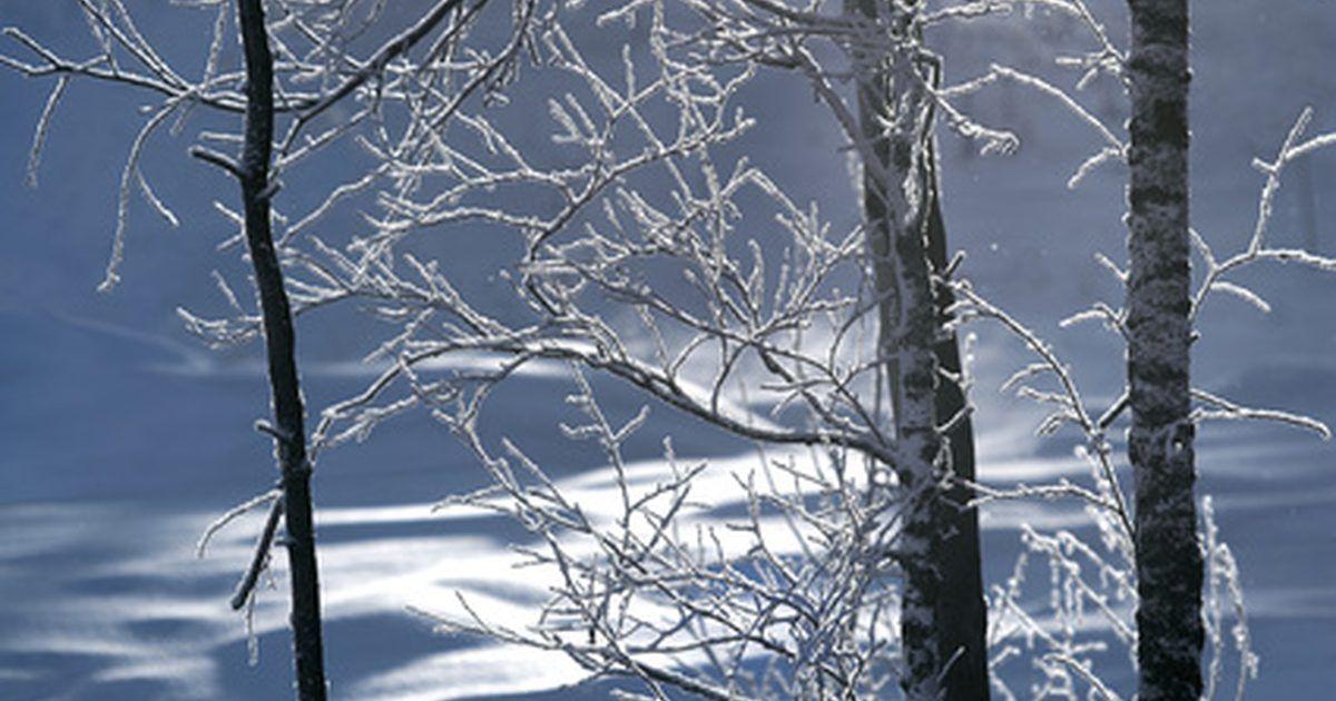 Cu l es el prop sito del invierno para los rboles for Arboles de hoja perenne para clima frio