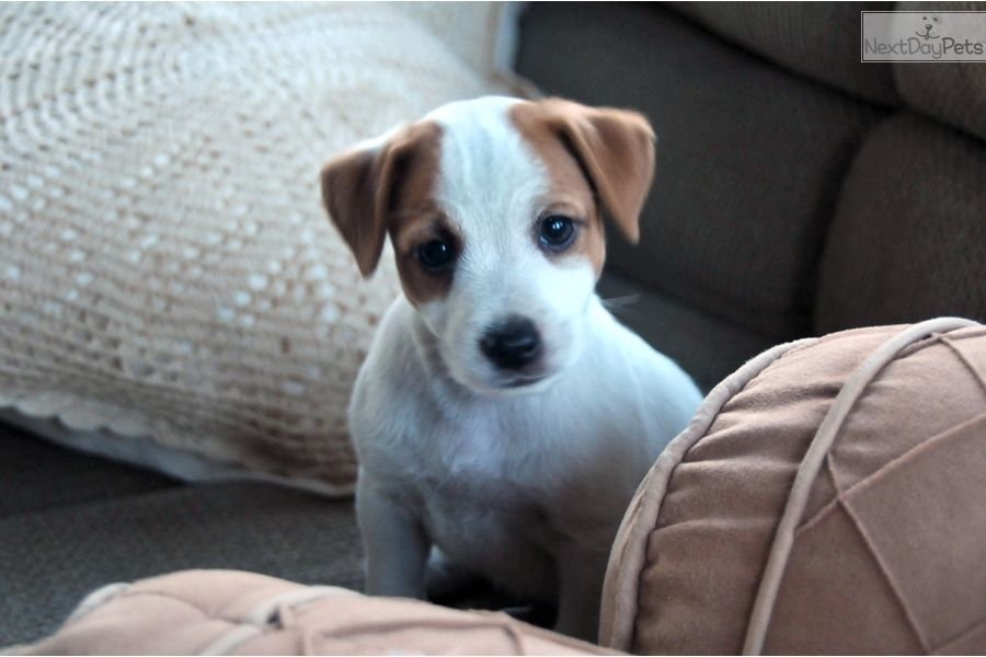 Bell Jack Russell Terrier Puppy For Sale Near Los Angeles California 18336d22 3891 Jack Russell Jack Russell Terrier Puppies Jack Russell Puppies