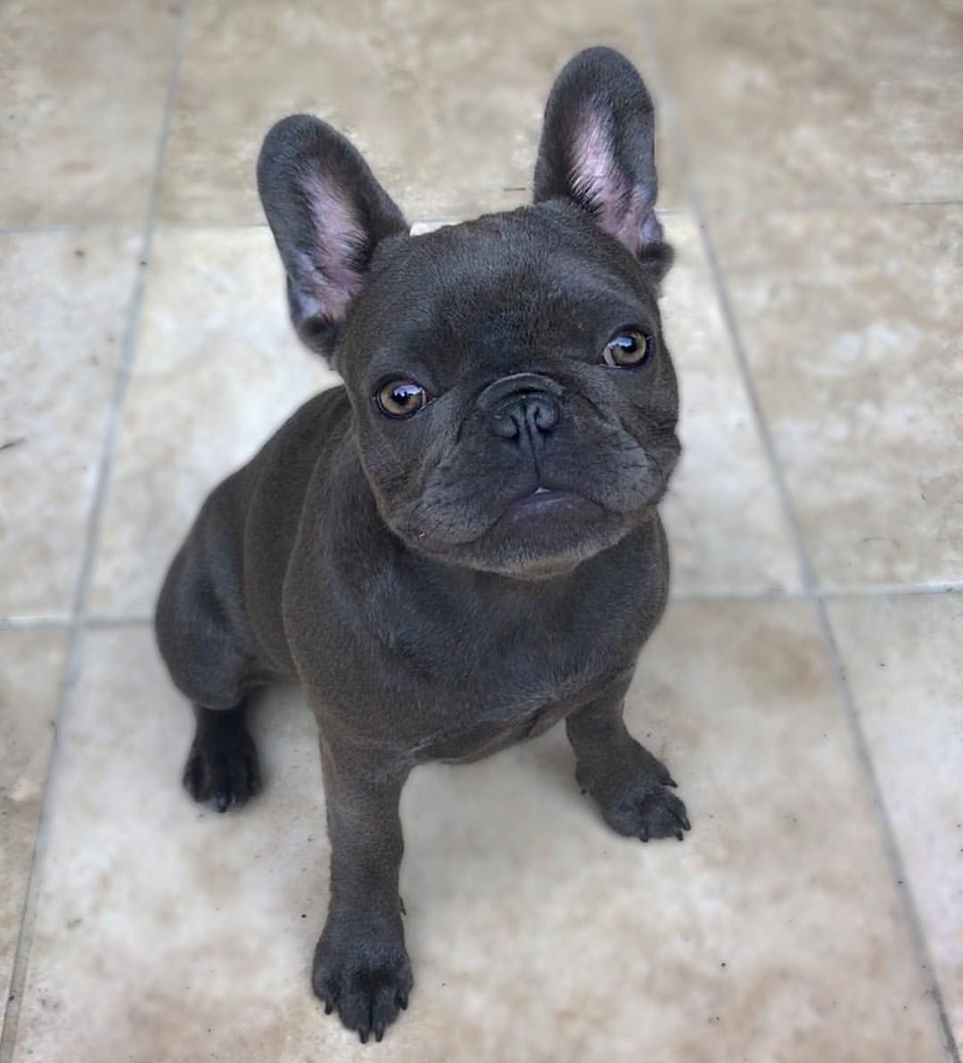 I M 5 Month Old Today Frenchie Bulldog French Bulldog Puppy
