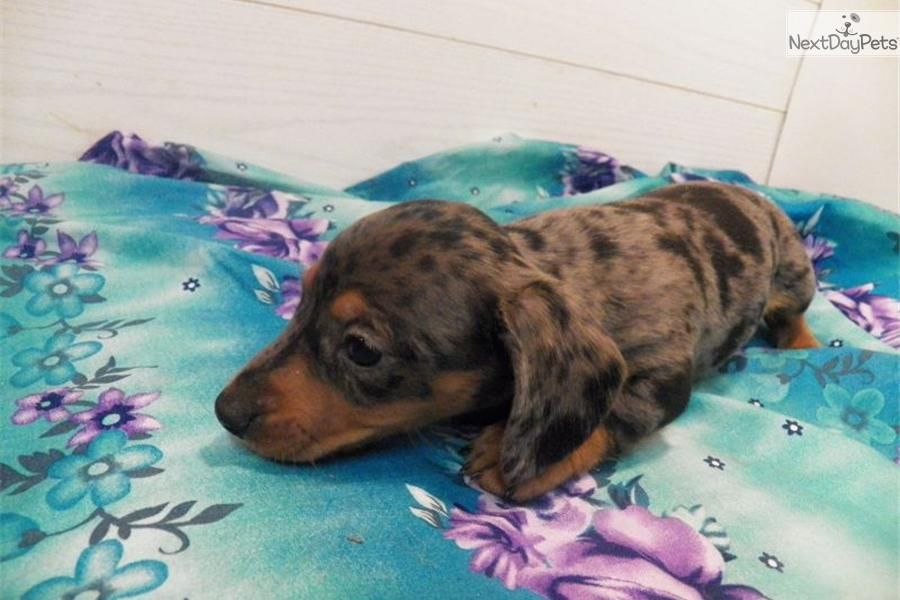 Meet Samwise A Cute Dachshund Puppy For Sale For 400 Samwise
