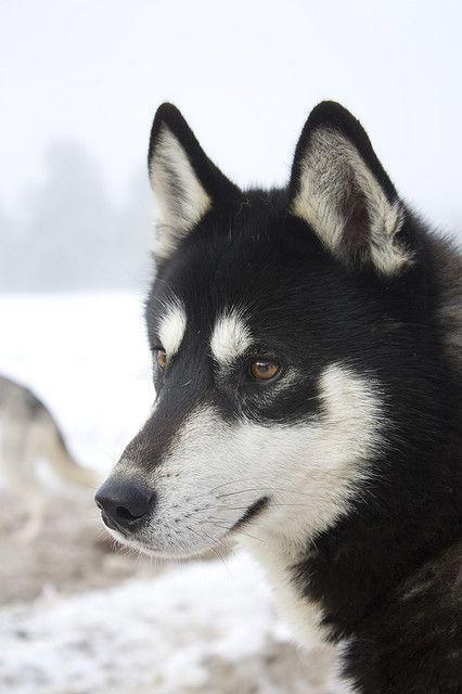 Husky Race 053 Siberian Husky Dog Siberian Husky Alaskan Husky