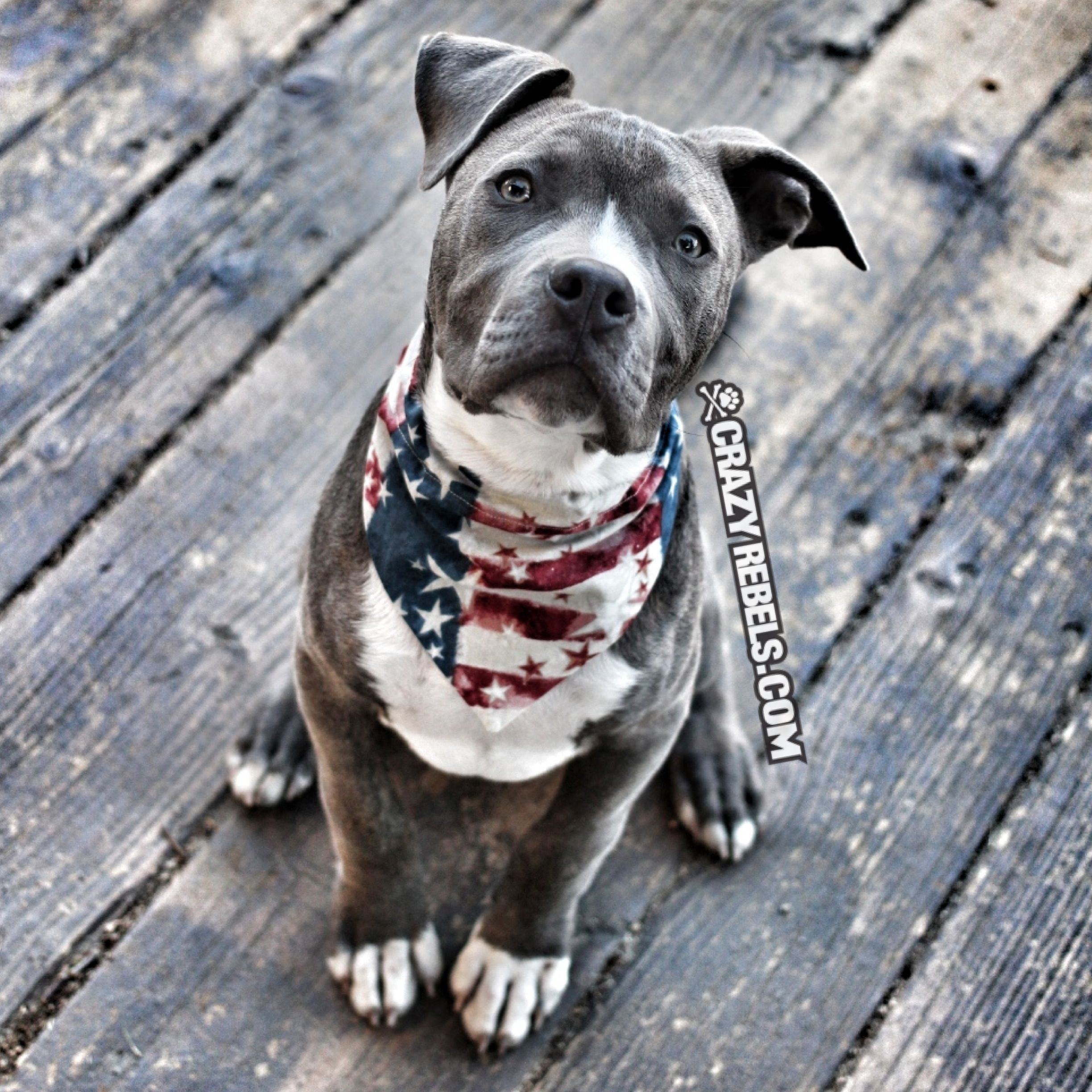 Apollo Is All Ready For The 4th Of July In His Freedom Print