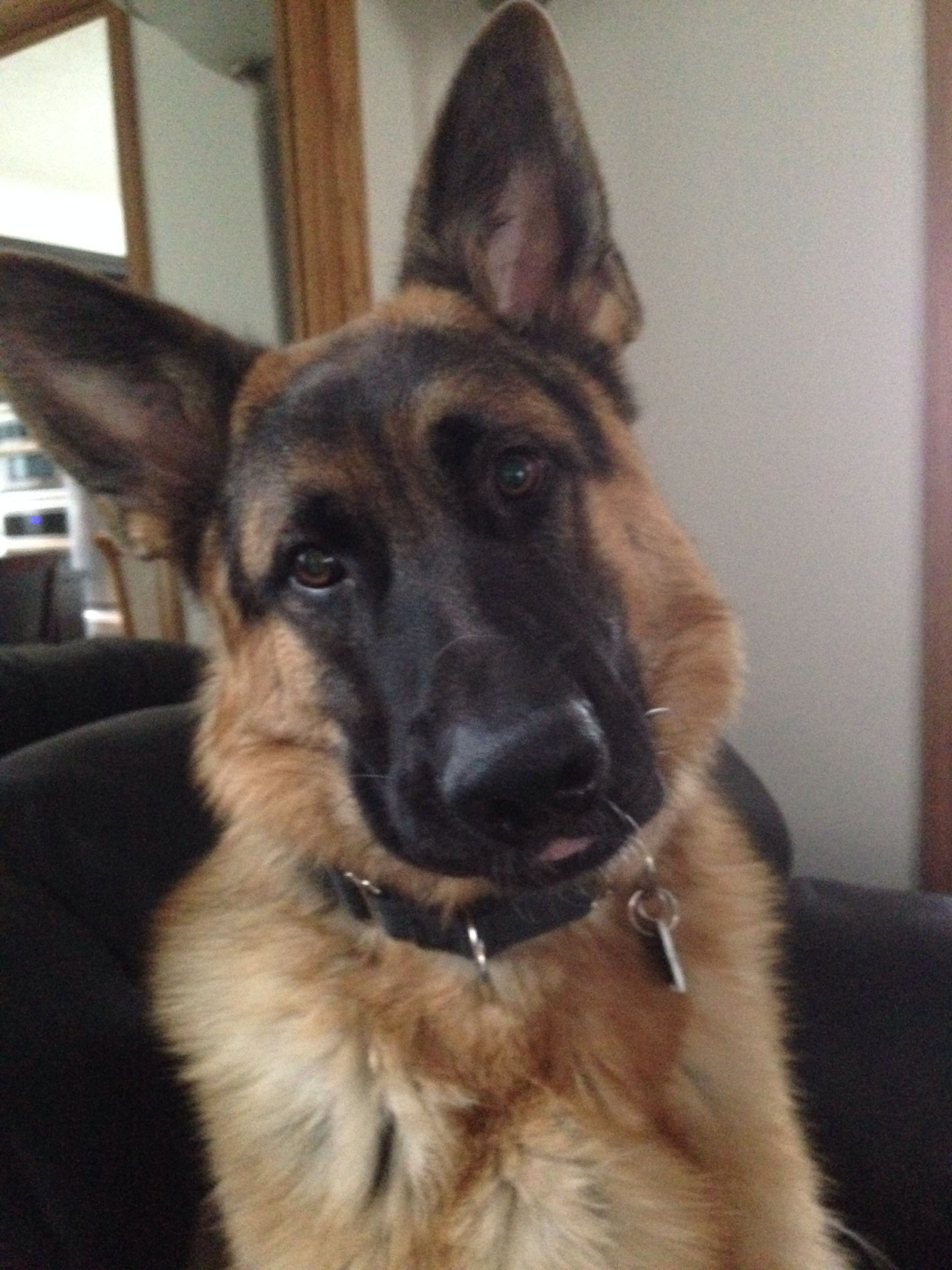 German Shepherd I Had One That Looked Like This But She Got Sick