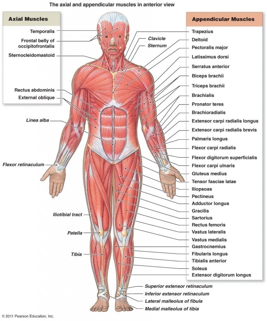 Gross Anatomy Of The Skeletal Muscles The Muscular System Micro And ...