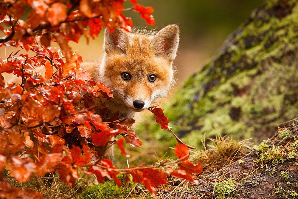 High quality photography of a little fox looking at you. - When you order this picture as poster: You will receive a vibrant poster print on Kodak professional 9 mil / 255 gsm resin coated photo paper