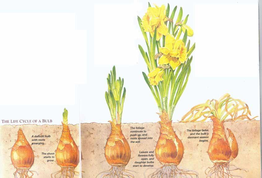 Bulb Life Cycle Life Cycles Bulb Planting Bulbs