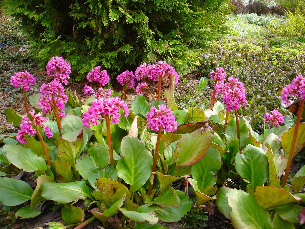 Bergenia codifolia heart leaved bergenia perennials for Low maintenance perennials for shade