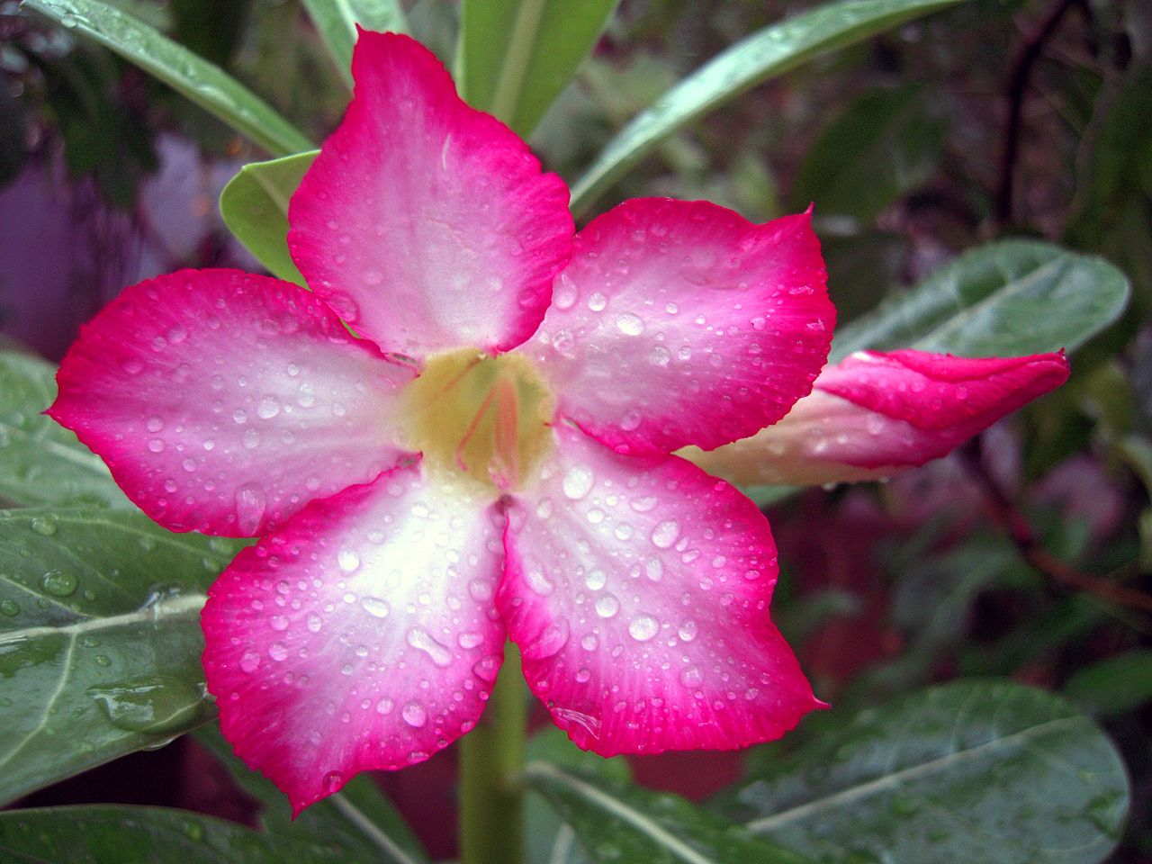 Adenium Obesum Also Known By The Names Sabi Star Kudu Mock