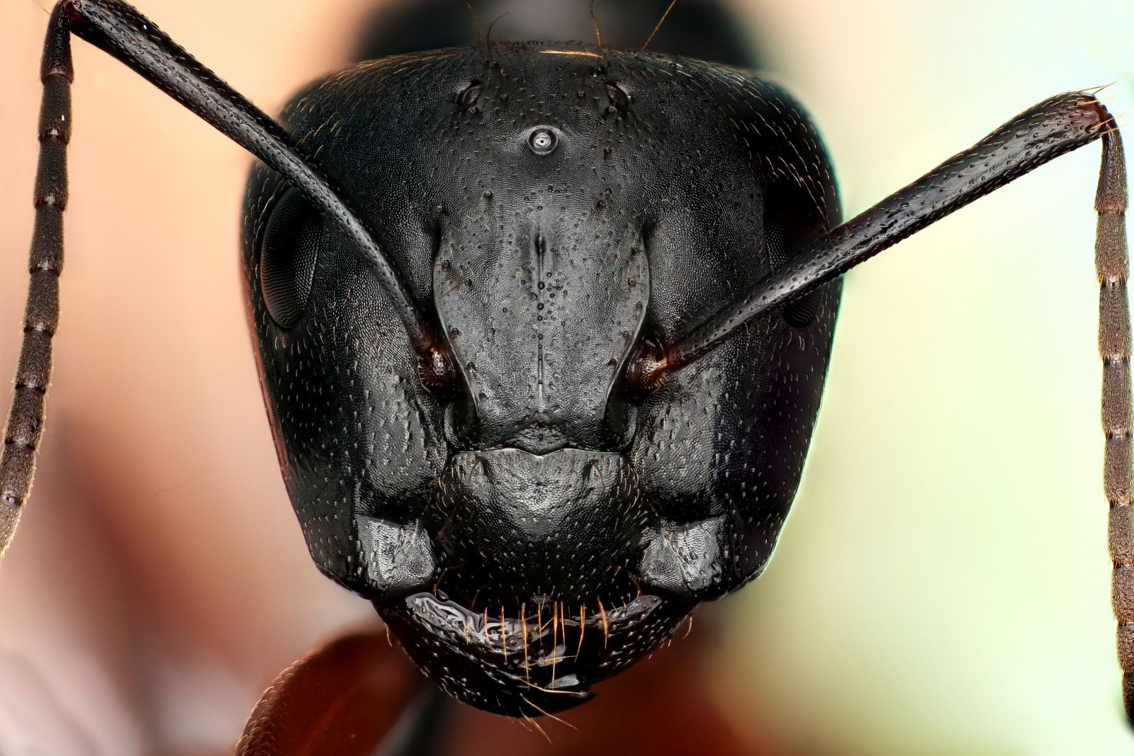Carpenter Ant Queen With Images Carpenter Ant Ants Peace