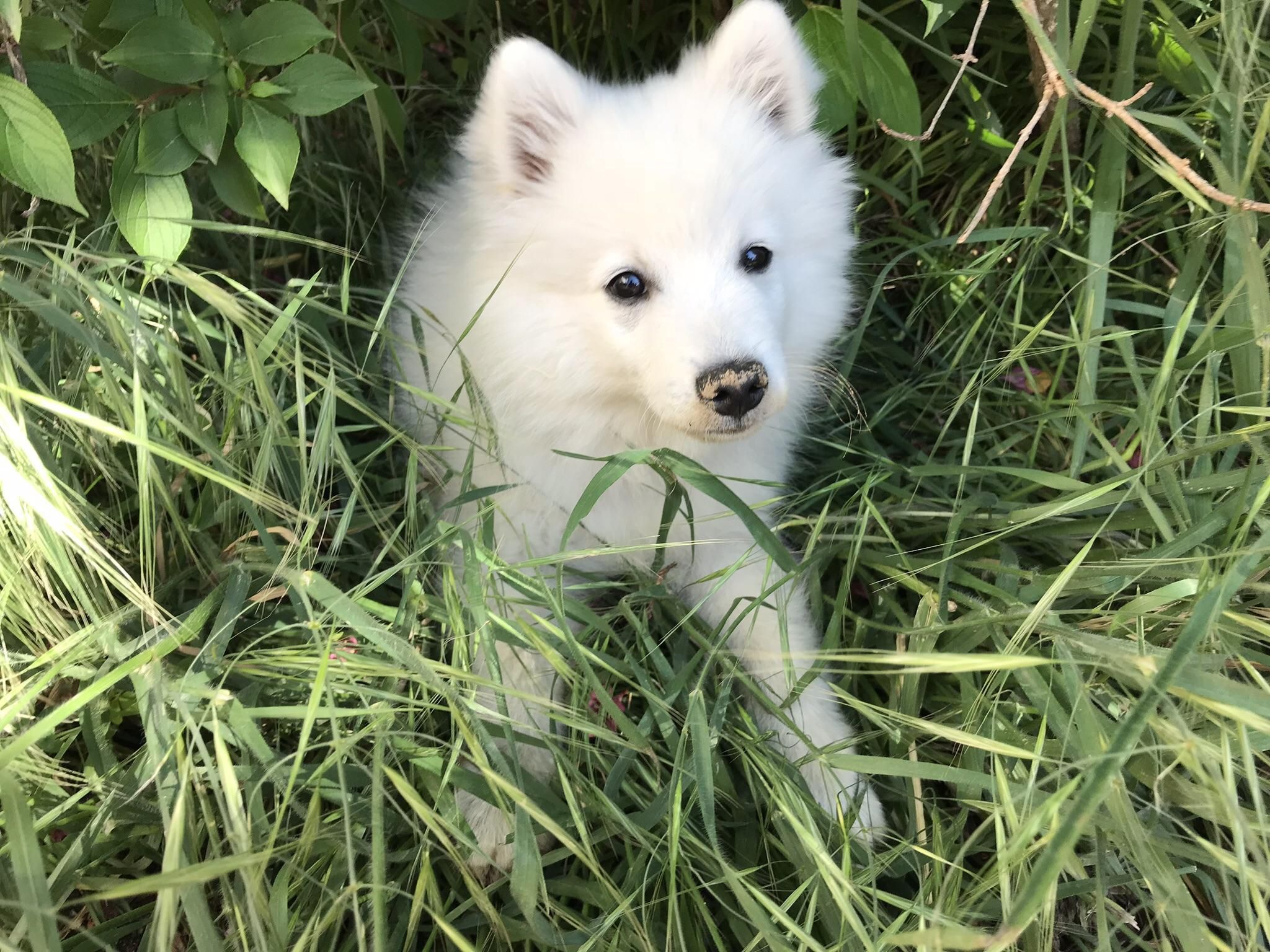 This Is Wasabi Hes A Japanese Spitz Thats Almost A Year Old Now But Still A Lil Pupper To Me Https Ift Tt 2expktd Japanese Spitz Animals Beautiful Japanese