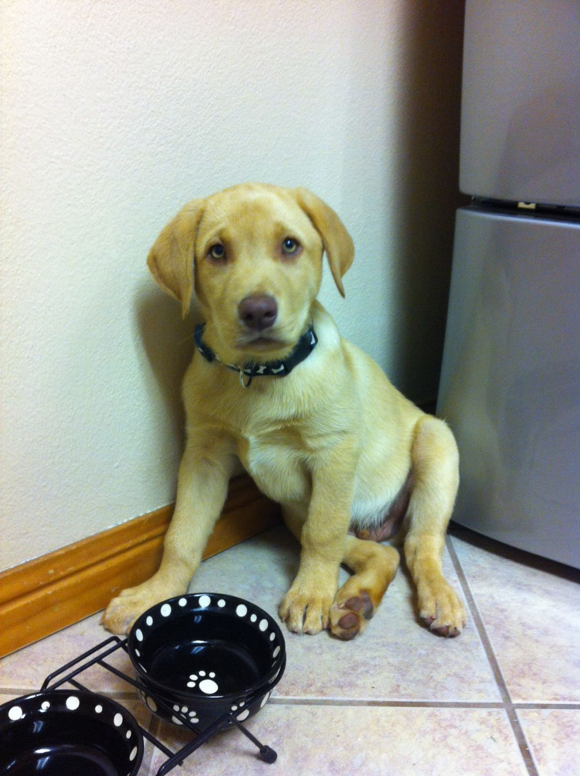 Tucker!! Cutest yellow lab ever! (With images) Yellow