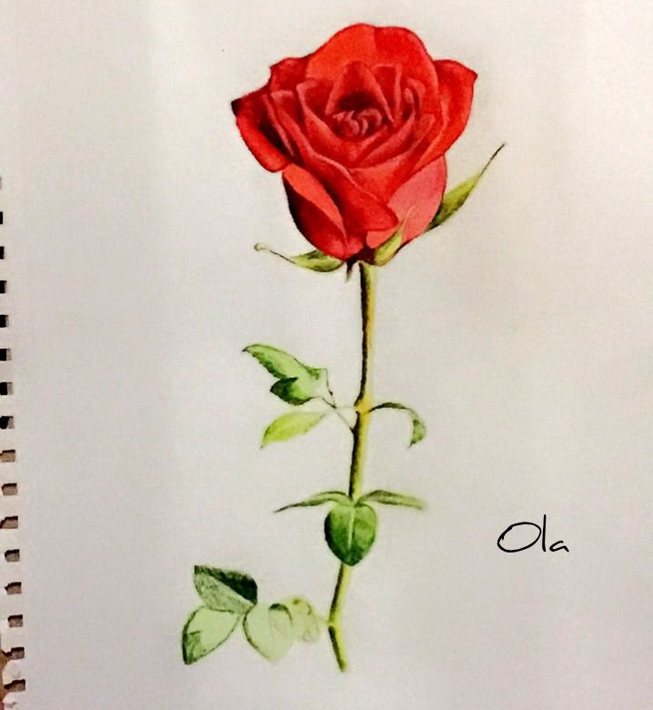Rose drawing , red , rose , sketch , colora , flower , painting