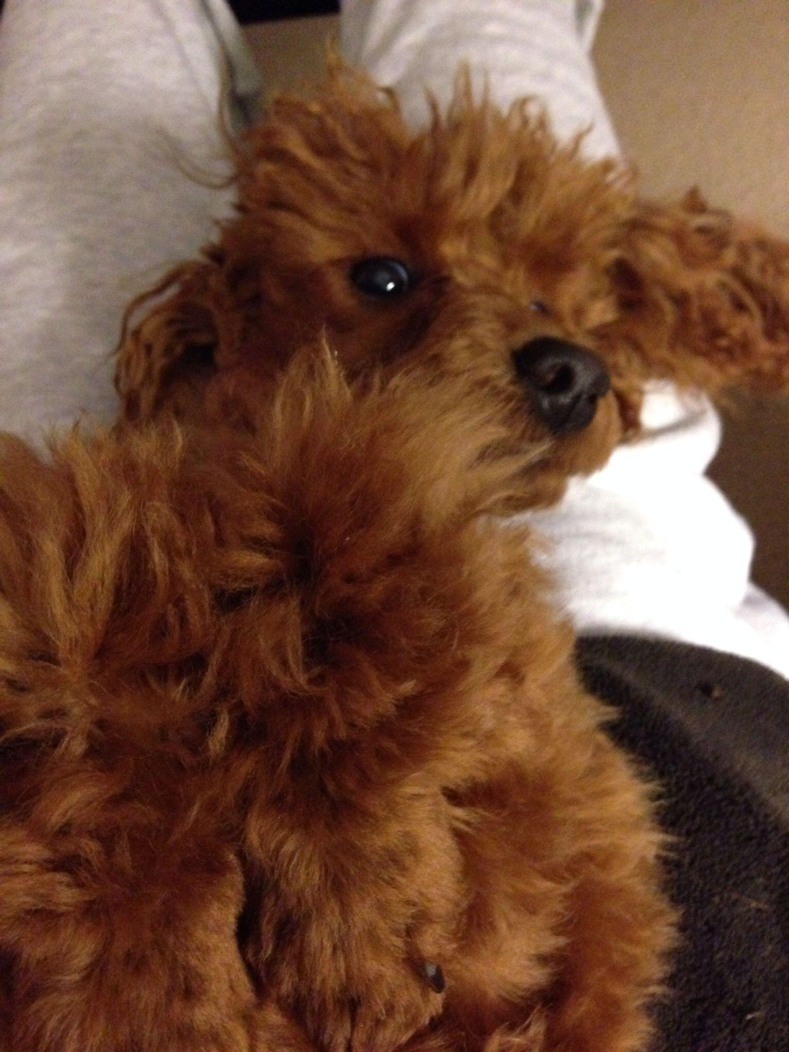 Leo my red miniature poodle miniature poodle poodle