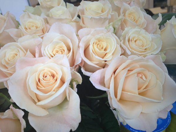 Sandy Femma rose