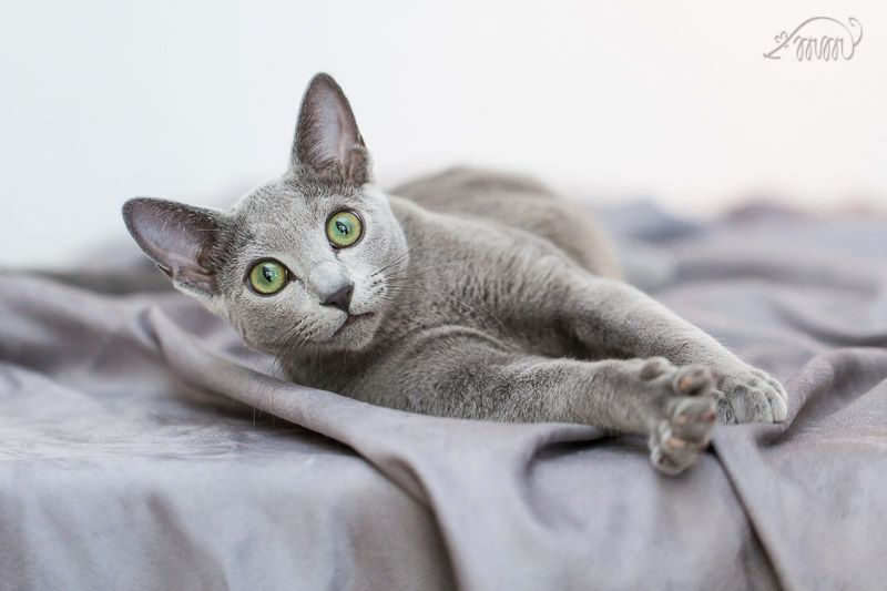 What Is A Cfa Or Tica Russian Blue Wychwood Russian Blue Cats Russian Blue Cat Entertainment Russian Blue Cat