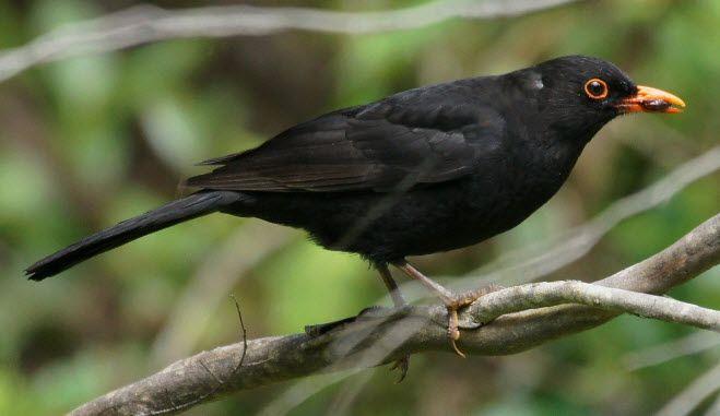 Horen Sie Die Amsel Auf Deutsche Vogelstimmen De Welches Eine