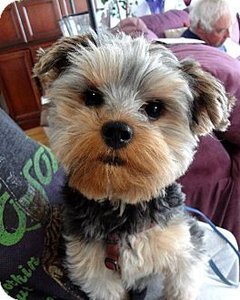 Sinking Spring Pa Yorkie Yorkshire Terrier Meet Easton A Dog