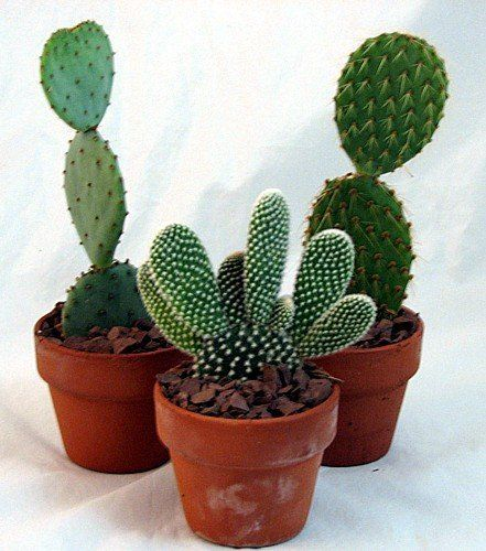 Prickly Pear Cactus Collection