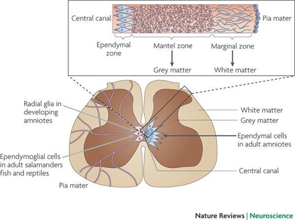 Lab 12: the Central Nervous System