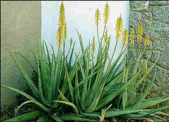 Aloe vera barbadensis planta