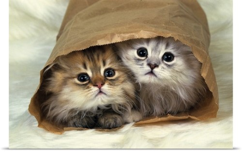 Poster Print Wall Art Print Entitled Two Persian Cats In A Little