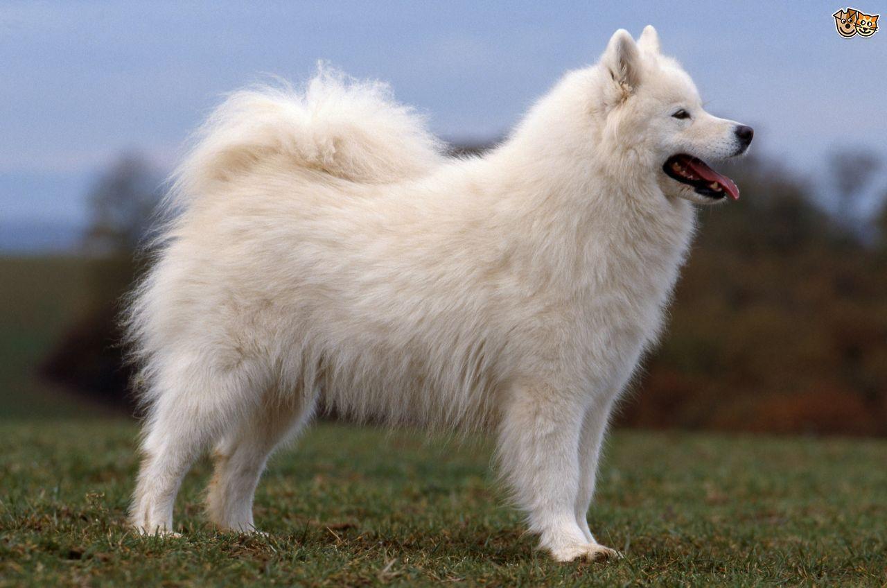 10 Most Beautiful Dog Breeds In The World Samoyed Dogs Dog