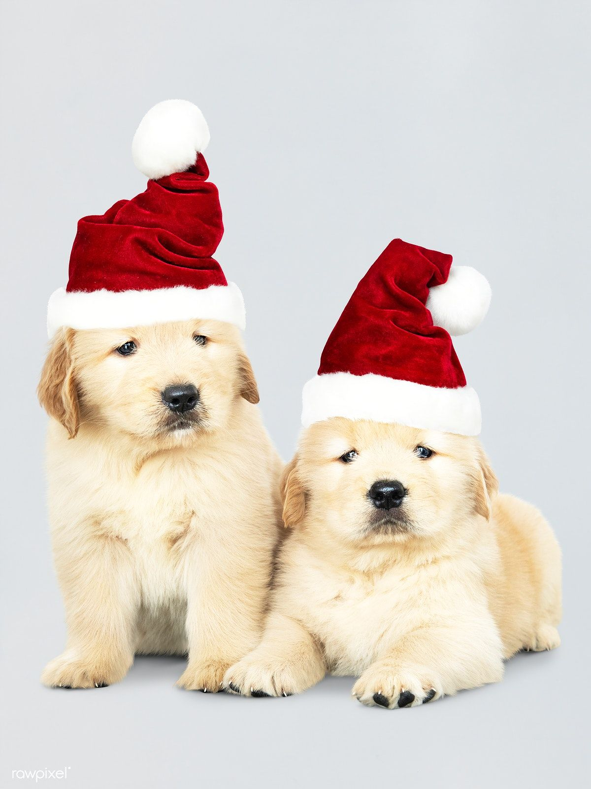 Download Premium Image Of Two Golden Retriever Puppies Wearing A
