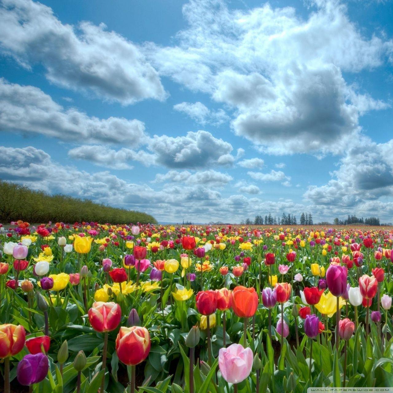 Vast Tulips Field Beautiful Flowers Wallpapers Field Wallpaper Flower Field