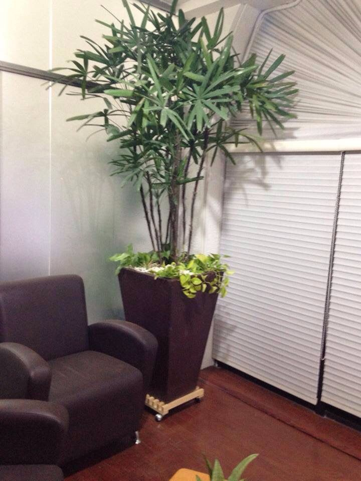 Palma rafis jardin pinterest for Plantas de interior altas